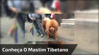 Conheça O Mastim Tibetano, O Cachorro Mais Caro Do Mundo, E Muito Lindo Também!