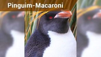 Conheça O Pinguim-Macaroni Ou Pinguim-De-Testa-Amarela!
