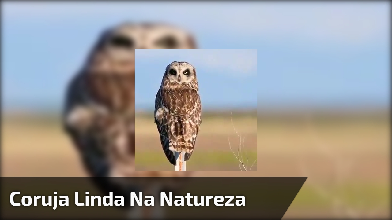 Coruja linda na natureza, este animal é fantástico confira!!!