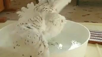 Coruja Tomando Banho, Olha Só Como Ela Gosta De Água, Uma Ave Linda!