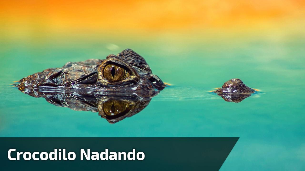 Crocodilo nadando
