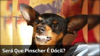 Da Só Uma Olhada Neste Vídeo De Animais! Pinscher É Tão Dócil, Kkk!