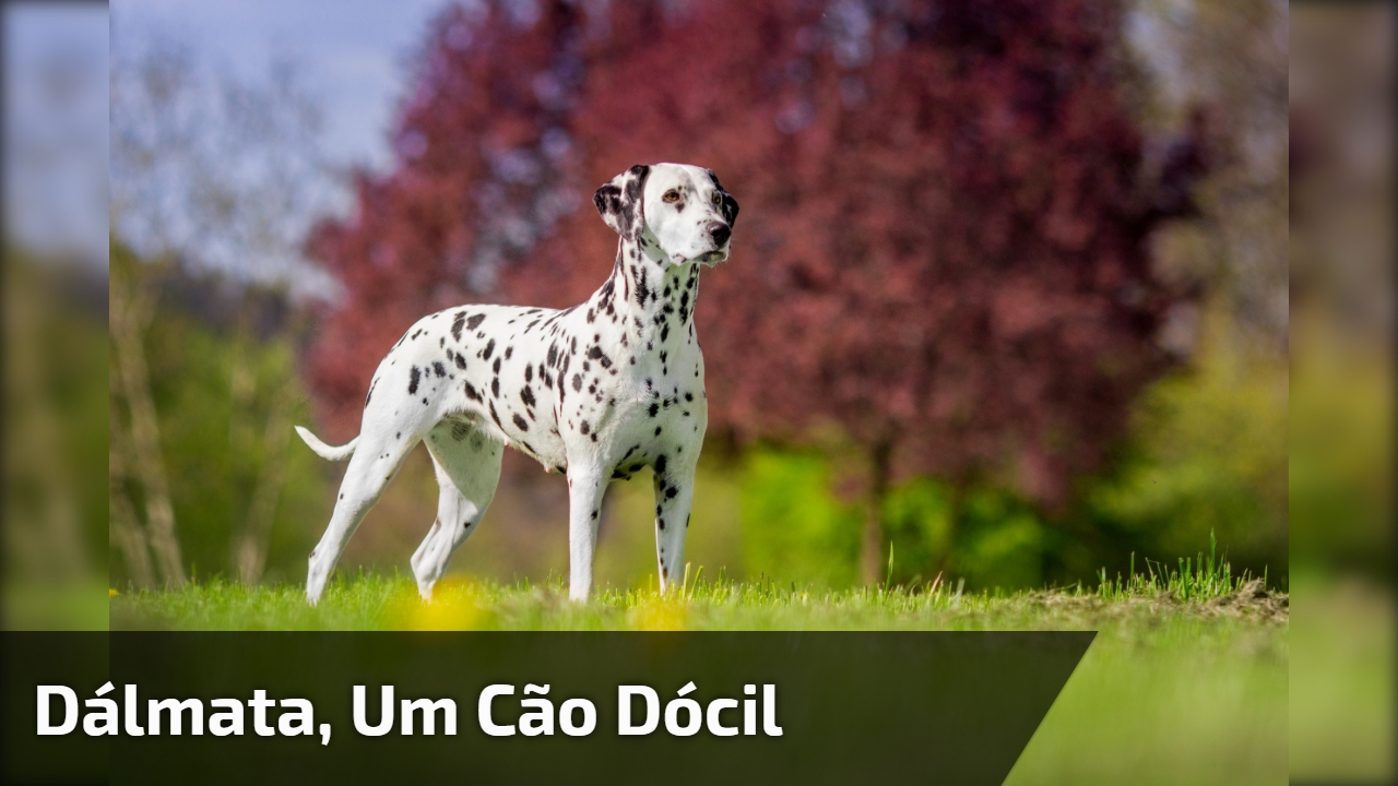 Dálmata, um cão dócil