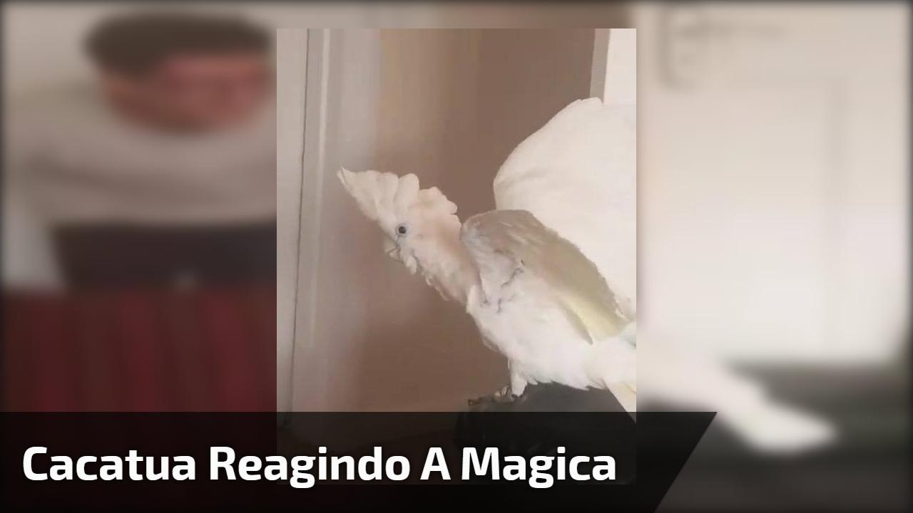 Cacatua reagindo a magica