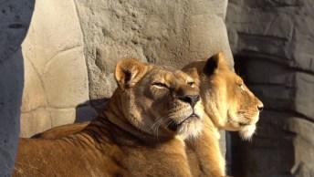 Despreguiçada Boa! A Exuberância Das Leoas Tomando Sol Em Seu Trono!