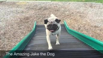 Dia A Dia Do Treinamento De Um Pug, Quem Não Se Apaixona Por Ele?