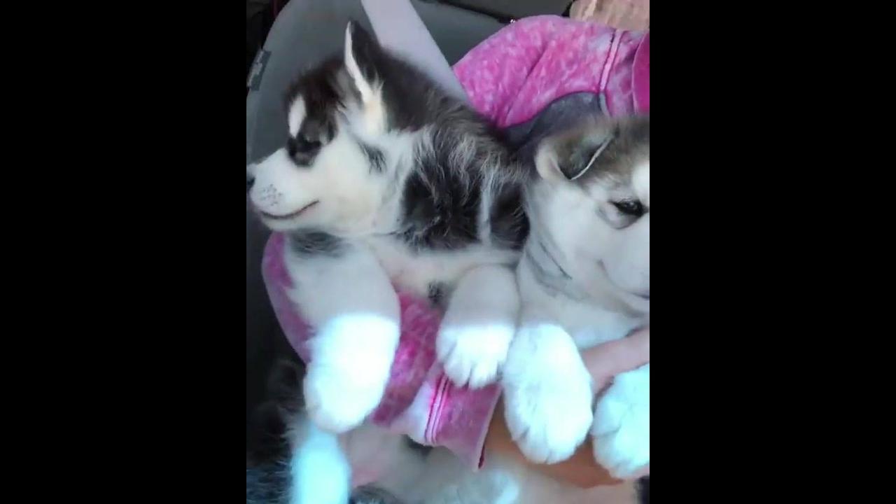 Dois filhotes de husky siberiano passeando de carro