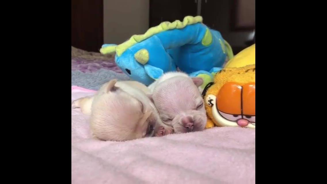 Dois filhotinhos de cachorros deitadinhos dormindo