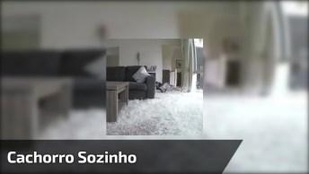 Dono Coloca Câmera Escondida Para Ver O Que Seu Cachorro Faz Sozinho!