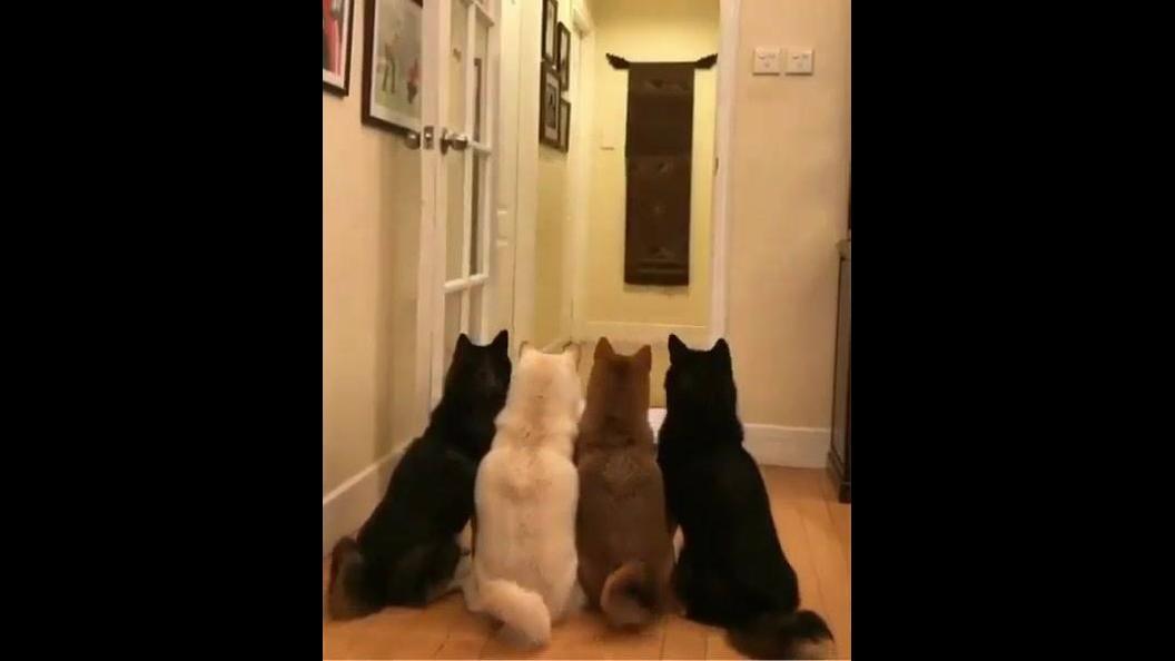 Dono fazendo magica de desaparecimento para seus 4 cães