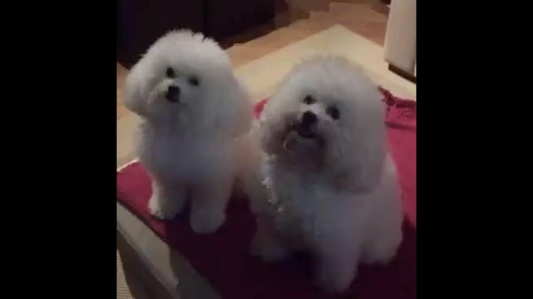 Dono pergunta para cachorrinhos quem furou a almofada