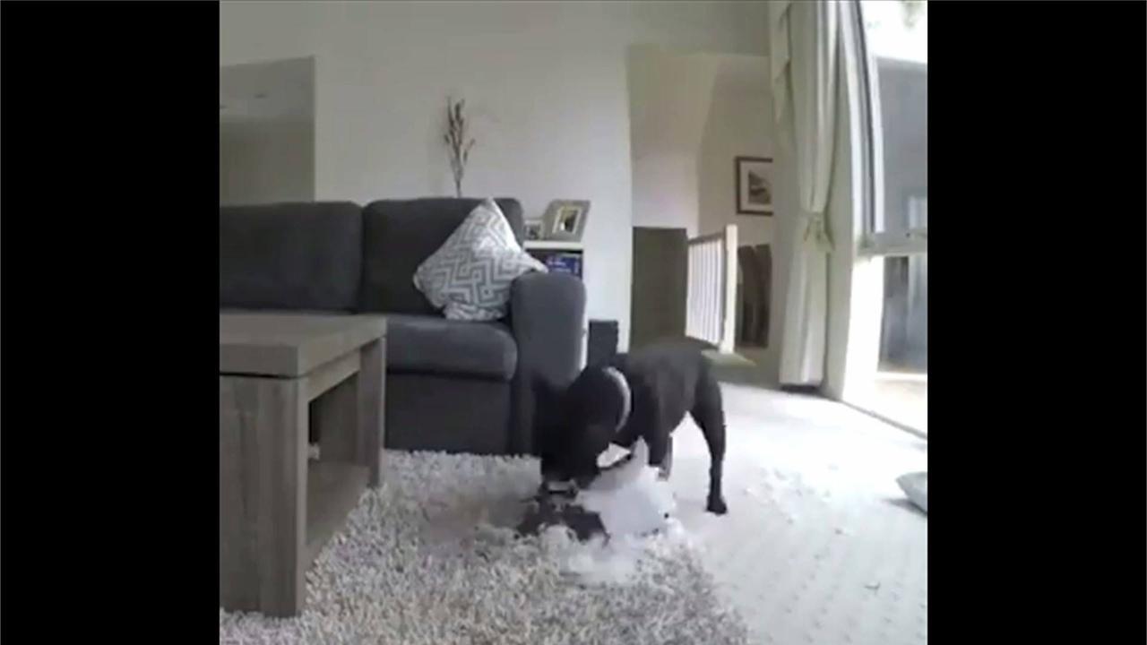 Dono põe câmera para ver o que seu cachorro faz sozinho, confira!!!