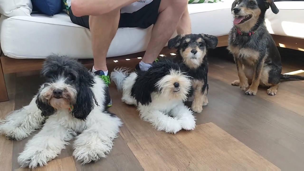 Donos fazem clones de cachorros para alegrar a casa
