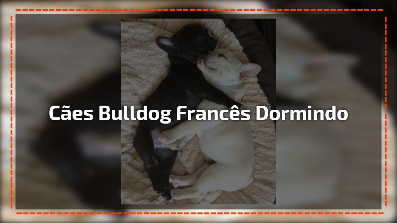Cães bulldog francês dormindo