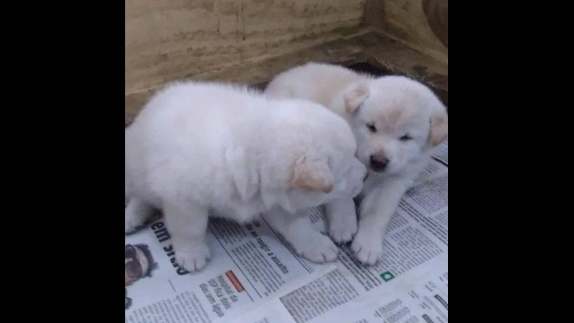 Dupla de filhotinhos de cachorros brancos fazendo coisas engraçadas