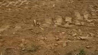 Dupla De Rottweiler Brincando Na Terra, Eles São Puras Alegrias!