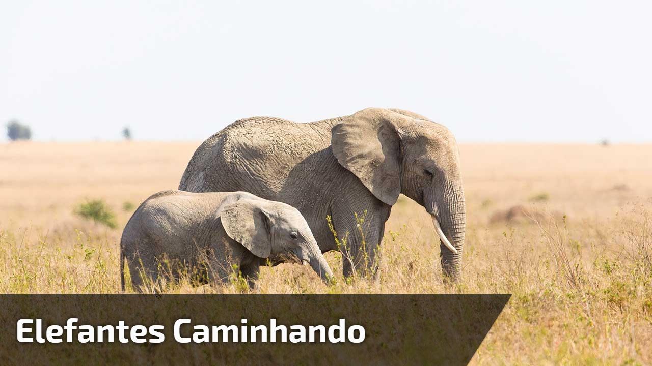 Elefantes caminhando
