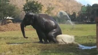 Elefante De Refrescando, Olha Só Como Ele Adora Brincar Na Água!