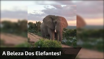 Elefantes, Animais Que Chamam A Atenção Por Sua Beleza Exótica E Grandeza!