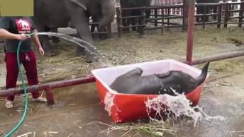 Elefantinho Se Divertindo Em Piscininha, Veja Que Fofura!