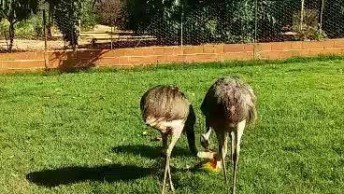 Emas Fazendo A Alimentação Manhã, Essas Aves São Demais!