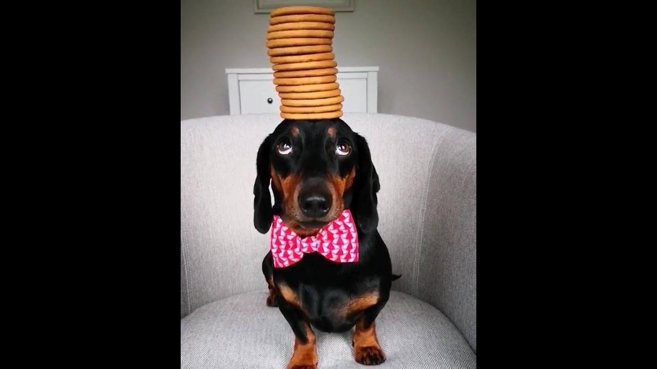 Equilibrando biscoitos na cabeça de um cachorro