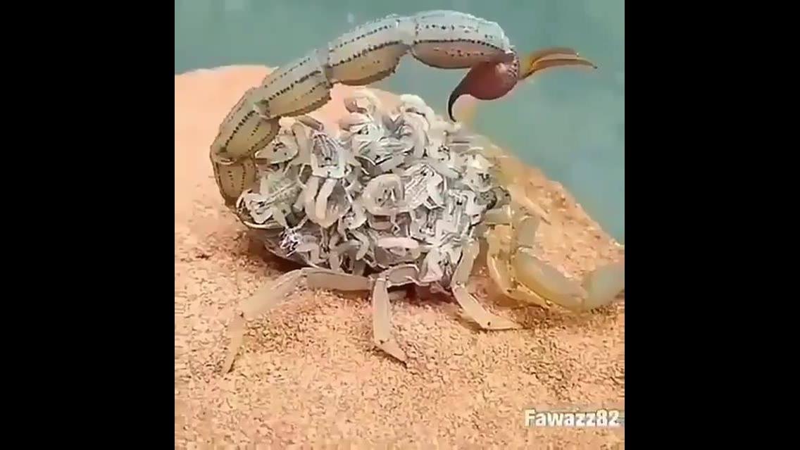 Escorpião com seus filhotinhos nas costas