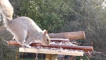 Esquilo Andando Pela Cerca De Uma Casa, Veja Como Este Animal É Esperto!