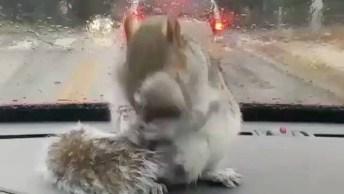 Esquilo Dentro De Um Carro Se Assusta Com Limpador De Para Brisa!