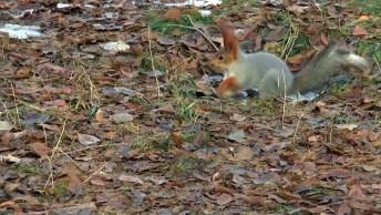 Esquilo Escondendo Uma Pinha, Como A Natureza É Encantadora!