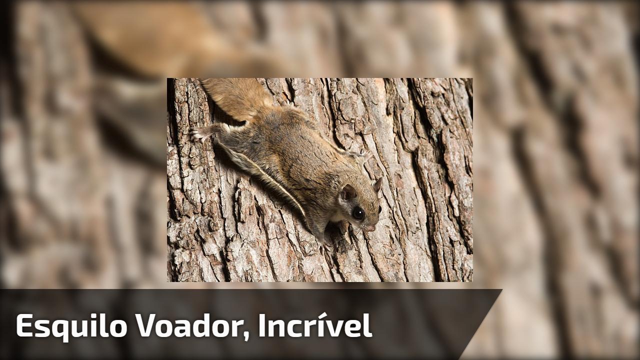 Esquilo voador, olha só que animal incrível, ele salta sem medo!!