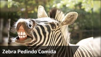 Essa Zebra Sabe Mesmo Pedir Uma Comidinha, Você Não Acha? Kkk!