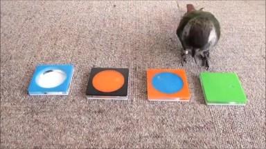 Esse Passaro É Muito Inteligente, Veja O Que Ele Faz Com Esse Brinquedo!