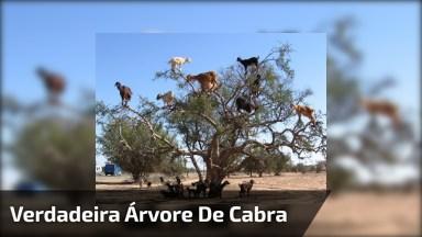 Esta É Uma Verdadeira Árvore De Cabras, Kk! Isso Não É Montagem!