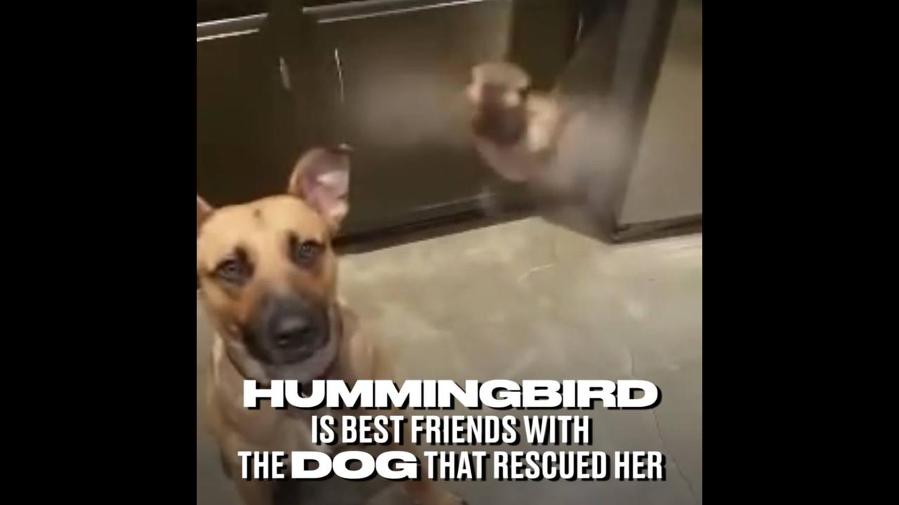 Extraordinário vídeo de beija-flor que vive solto dentro de uma casa