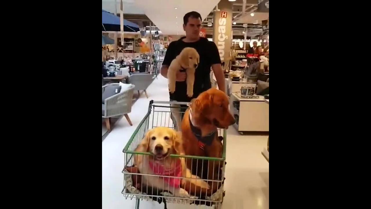 Família de golden retriever passeando com o dono no super mercado