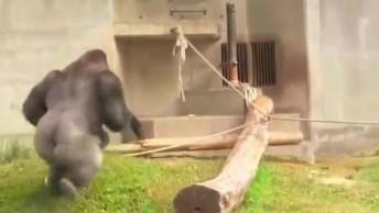 Família De Gorilas Fazendo Um Show Incrível, Eles Gostam De Aprontar!