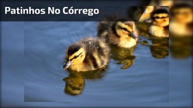 Família De Patinhos No Córrego De Água Feito Para Eles, Confira!