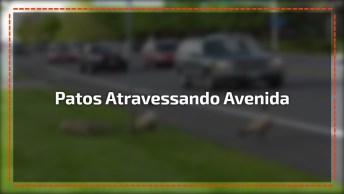 Família De Patos Atravessando Uma Avenida, Uma Cena Rara De Ver!