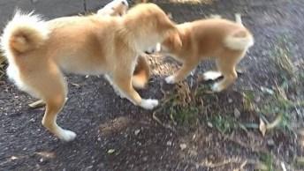 Família De Shiba Inu Brincando No Quintal, Mais Um Vídeo De Cachorro Divertido!