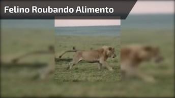 Felino Roubando Alimento De Hienas Famintas, Uma Cena Selvagem Para Compartilhar