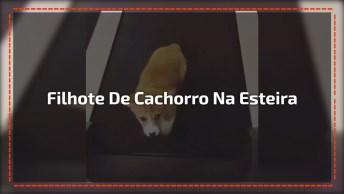 Filhote De Cachorro Andando Na Esteira, Olha Só Que Animalzinho Mais Fofo!
