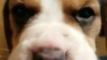 Filhote De Cachorro Bravinho, Olha Como Ele Resmunga E 'Xinga'!