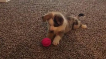 Filhote De Cachorro Brincando Com A Bolinha, Ele É Uma Fofura!