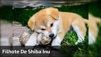 Filhote De Cachorro Da Raça Shiba Inu, Filho De Campeã Pan-Americana!