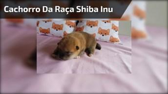 Filhote De Cachorro Da Raça Shiba Inu, Parece Filhote De Urso!