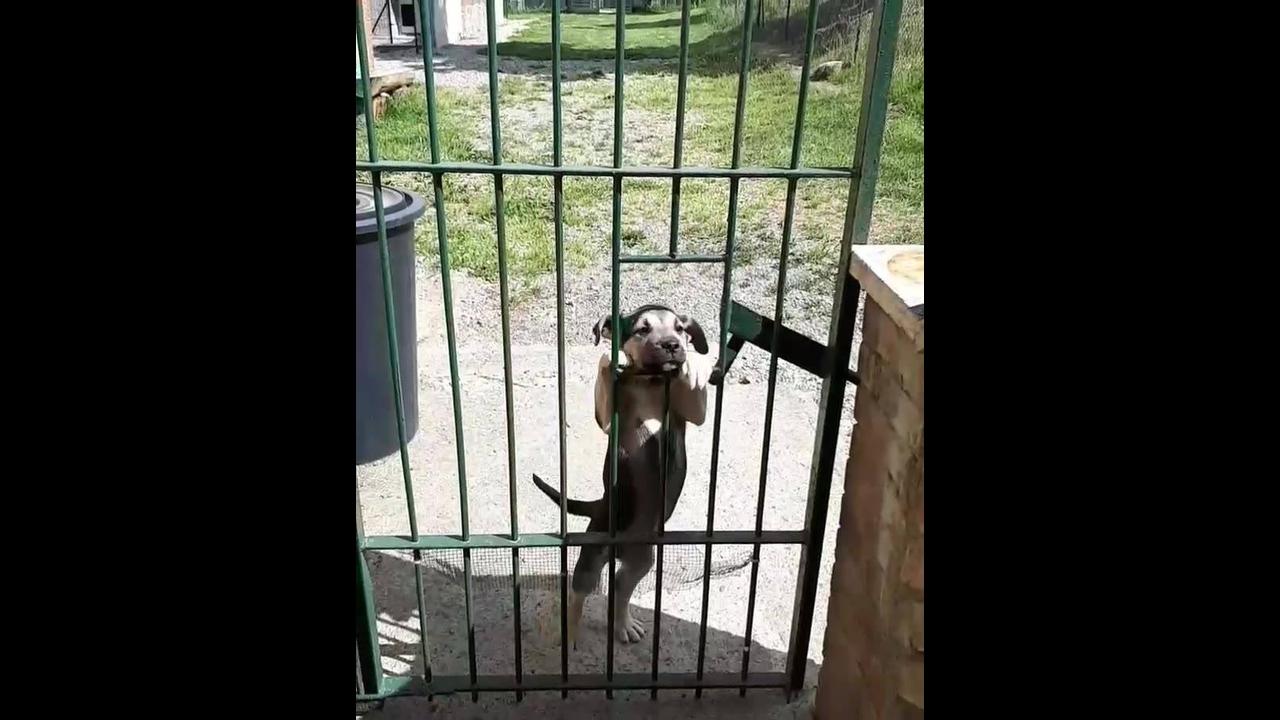 Filhote de cachorro de 3 meses consegue pular no buraco do portão
