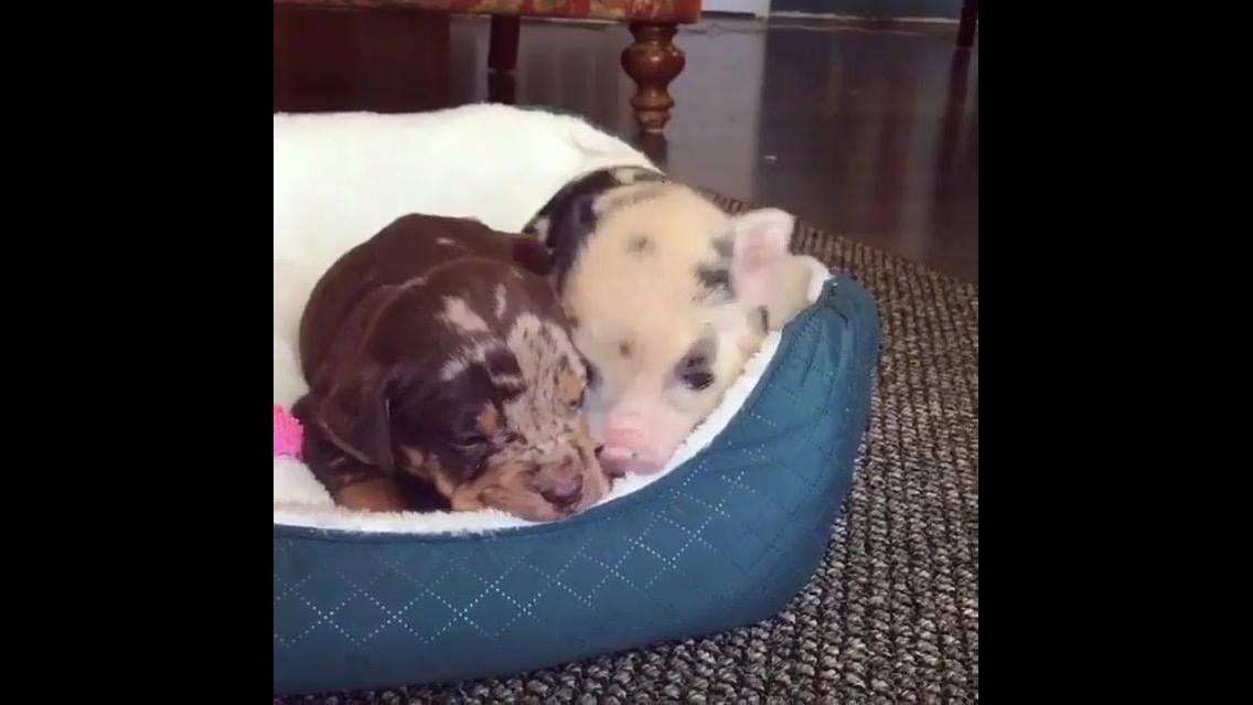 Filhote de cachorro dormindo com porquinho