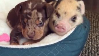Filhote De Cachorro E Porco, Os Amiguinhos Mais Fofinhos Que Você Já Viu!
