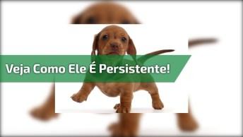 Filhote De Cachorro Tentando Subir Na Cama, Olha Só Como Ele É Persistente!